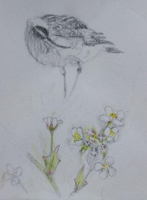 Whimbrels and Scurvy Grass | SALT MARSH ART sketch book